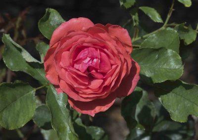 IMG_1879 ROSA